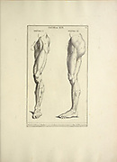 woodcut print of Human Anatomy legs from Anatomia per uso et intelligenza del disegno printed in Rome in 1691