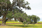 Southern Live Oak Tree, Quercus virginiana, covered with Spanish moss, Tillandsia usneoides, in Cajun country, Louisiana, USA