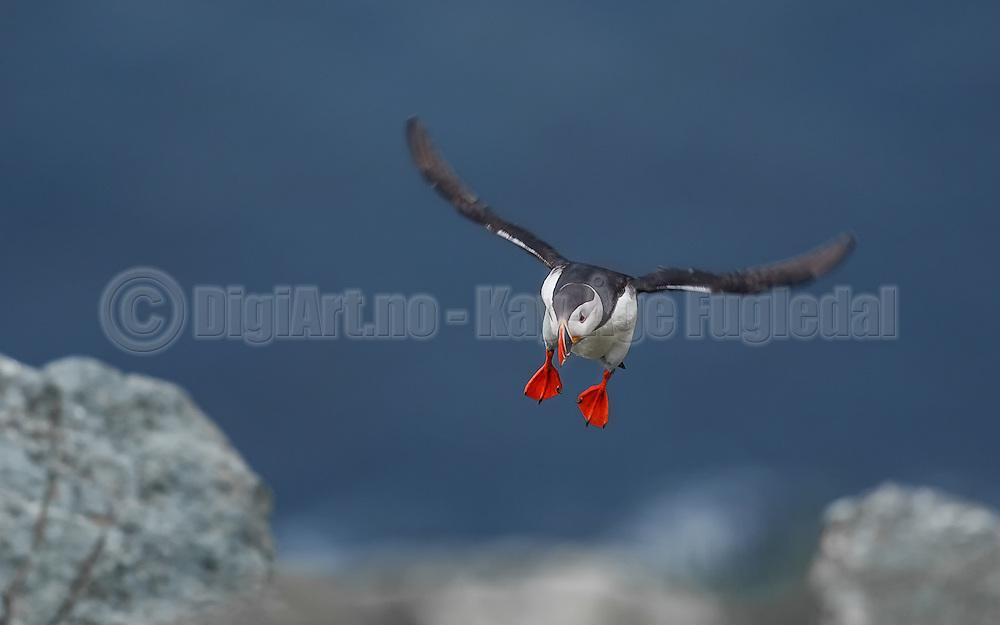 Puffin in for landing | Lundefugl inn for landing