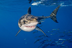 great white shark, Carcharodon carcharias, with schooling mackerel scad, Decapterus macarellus, Guadalupe Island, Mexico, East Pacific Ocean
