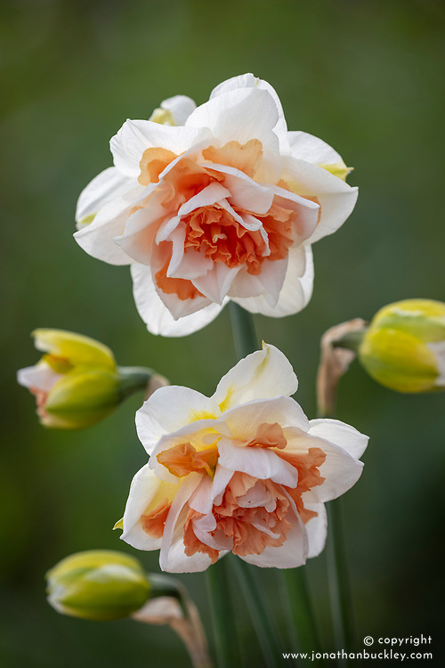 Narcissus 'My Story'