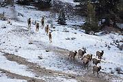 Herd of cow elk walking down the trail