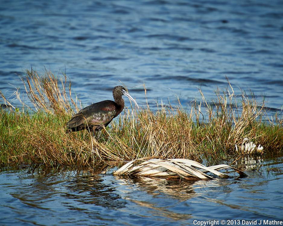 Glossy Ibis. Black Point Wildlife Drive, Merritt Island National Wildlife Refuge. Image taken with a Nikon D3s camera and 70-200mm f/2.8 lens with a 2.0 TC-E III teleconverter (ISO 200, 400 mm, f/5.6, 1/640 sec).