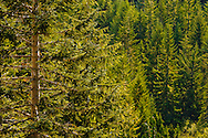 A Noble Fir, Alaskan Cedar, and Englemann Spruce forest fills the bottom of Stevens Canyon. Mount Rainier National Park, WA, USA