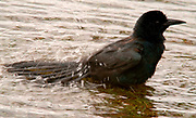 Boat Tailed Grackle, Quiscalus major, Florida Everglades, USA, male, bathing in water, splashing