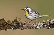 Yellow-throated Warbler - Setophaga dominica