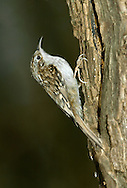Treecreeper Certhia familiaris L 12-13cm. Easily overlooked as it creeps up tree trunks, using spiky tail for support. Probes bark for insects using needle-like bill Sexes are similar. Adult and juvenile have streaked brown upperparts and silvery white underparts, subtly suffused buff towards rear of flanks. Note grubby whitish supercilium and broad, zigzag buffish barring on wings. Voice Utters a thin, high-pitched tseert call. Song comprises short series of high-pitched notes and ends in a trill. Status Fairly common resident of deciduous and mixed woodlands.