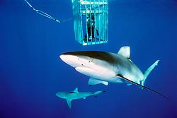 Galapagos shark, Carcharhinus galapagensis, .sandbar shark (bottom), Carcharhinus plumbeus, .and divers in cage, .North Shore, Oahu, Hawaii (Pacific).