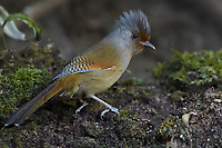 Rusty-fronted Barwing, Actinodura egertoni, bird photographed in the forests of Baihualing, Gaoligongshan, Yunnan, China