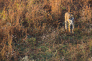Wild Bengal tiger standing in a field of wild flowers, Ranthambore National Park, Rajasthan, India