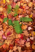 Autumn ground pattern, leaves and fern, Baxter State Park, Maine, USA
