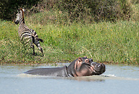 A Hippopotamus, Hippopotamus amphibius, emerges from a pond in Tarangire National Park, Tanzania, frightening a Grant's Zebra, Equus quagga boehmi.