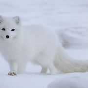 Arctic Fox adult. Hudson Bay, Canada