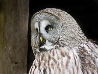 Sad expression, Great Grey Owl
