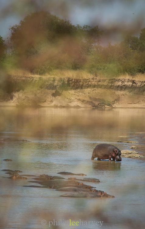 Hippopotamus pod in river in South Luangwa National Park, Zambia
