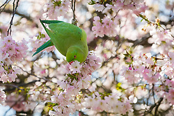 © Licensed to London News Pictures. 05/04/2018. London, UK. A green parakeet eats cherry blossom in Green Park during sunny weather in London today. Photo credit: Vickie Flores/LNP