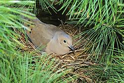 Morning Dove In Nest