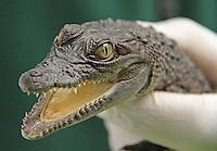 Philippine Crocodile, ZSL London Zoo Annual Stocktake 2015, Regents Park, London UK, 05 January 2015, Photo By Brett D. Cove