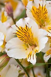 Alstroemeria 'Apollo' - Peruvian lily