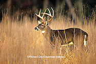 01982-03920 White-tailed Deer (Odocoileus virginianus) 8 - point buck in field  Great Smoky Mountains NP  TN