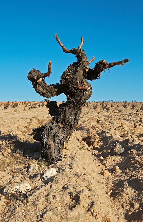 tempranillo gobelet training old vine sandy soil Bodegas Vinas del Cenit, DO Tierra del Vin de Zamora spain castile and leon