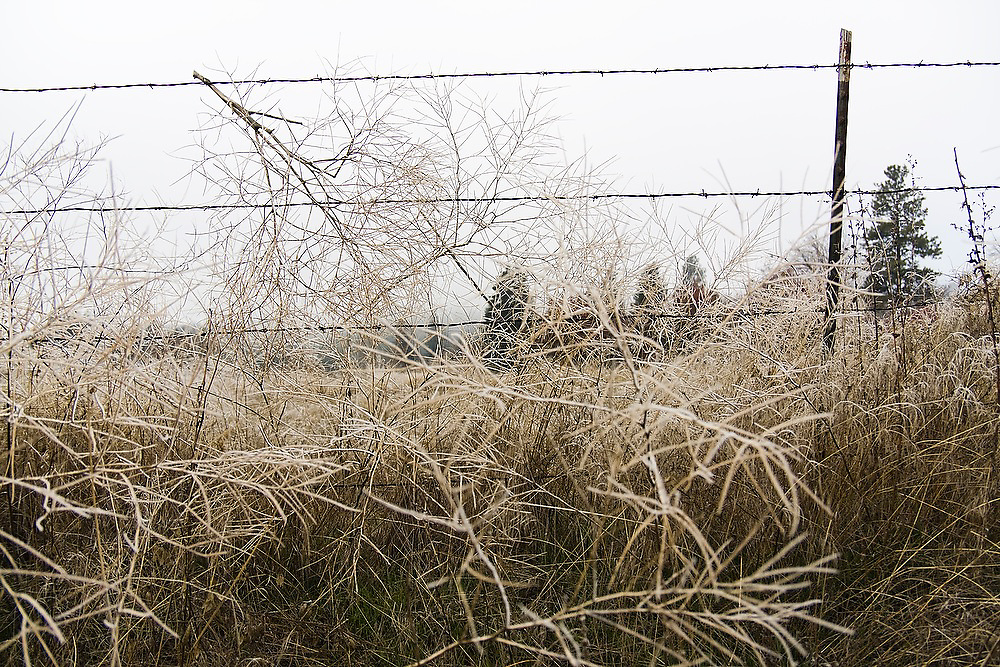 Dried plants and branches covered in morning frost are entangles in a barbwire fence outside Spokane, Washington.