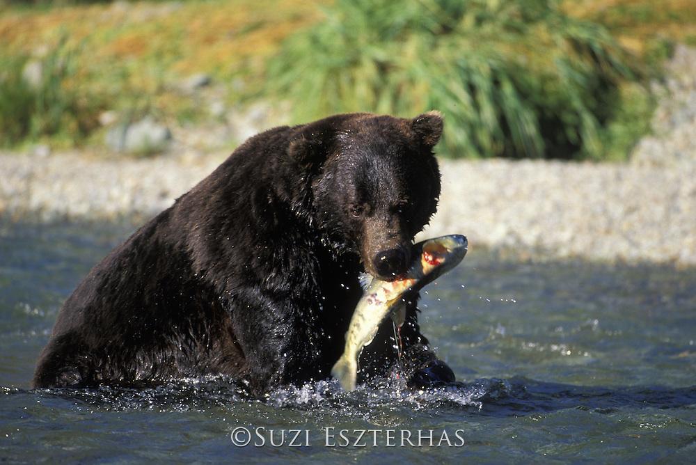 Alaskan Brown Bear<br /> Ursus arctos middendorffi<br /> Large male with salmon<br /> Katmai National Park, AK