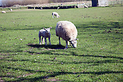 Lamb and sheep in field, Texel, Netherlands,