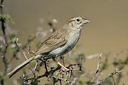 Cassin's Sparrow - Aimophila cassinii