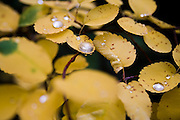 Water droplets rest gently on yellow leaves in a forest near Mazama, Methow Valley, Washington.