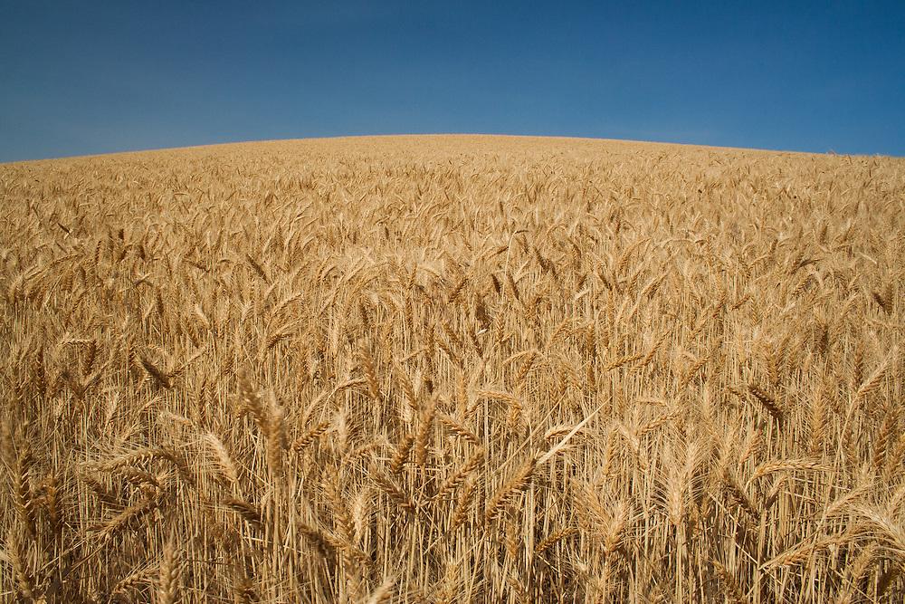 Palouse grain fields in eastern Washington.