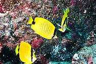 Milletseed Butterflyfish, Chaetodon miliaris, Quoy & Gaimard, 1824,  Molokai, Hawaii