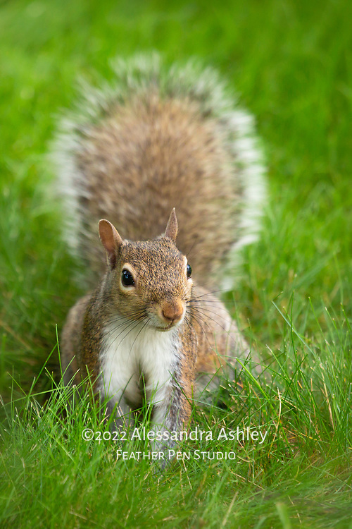 Gray squirrel in backyard habitat, with raised tail. 2020 Willow Creek Press calendar selection, published in Squirrels wall calendar.