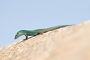 Formentera's sargantanes. Icon of the island of Formentera, it is the only species of lizard that lives in the Pitiusan Islands