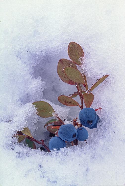 Blueberries, Northwest Alaska, USA