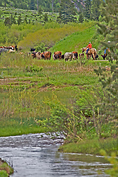 Cattle Drive, Swan Valley Idaho. Cattle drive in Swan Valley Idaho. June is the time many ranchers move their cattle to the mountains so they can grow hay on their property so the cows will have something to eat when they come out of the mountains for the winter...The cowboys of the west are under assault because many don't like to see their cows on public land. I have written a couple of articles articulating the problem. My photos are not to be used for anti public land ranching interests.