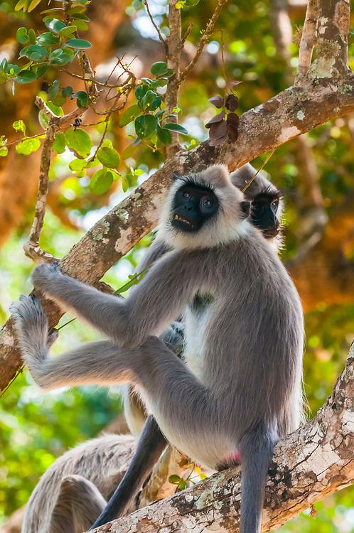 Black faced Langur monkeys, Yala National Park, Southern Province, Sri Lanka.
