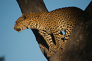 Female leopard coming down out of tree.