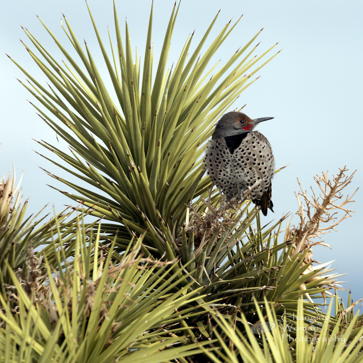 """Yellow-shafted northern flicker has red """"mustache"""" and golden underwings like the gilded flicker more common to southwestern Arizona and western Mexico near the Sea of Cortez."""