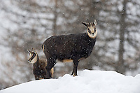 12.11.2008.Chamois (Rupicapra rupicapra) in snowy weather..Gran Paradiso National Park, Italy