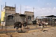 Criadero de avestruces en Tlaltenco, Tláhuac. Septiembre 9 de 2009. (Foto: Prometeo Lucero)