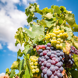 Purple grapes hang on the vine under a blue sky.