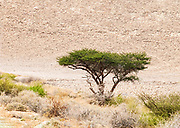 Uvda Desert Landscape. Lone Acacia tree surviving in the arid landscape Uvda is the name of a region in the southern Negev desert, directly north of Eilat, Israel The Uvda Valley is known for the 7000-year-old Uvda Leopard Temple and other prehistoric sites