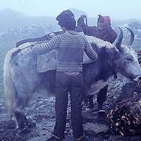 Sherpa men load a yak  with juniper firewood they have gathered under Cho La Pass near Mount Everest in Nepal's Khumbu Region.