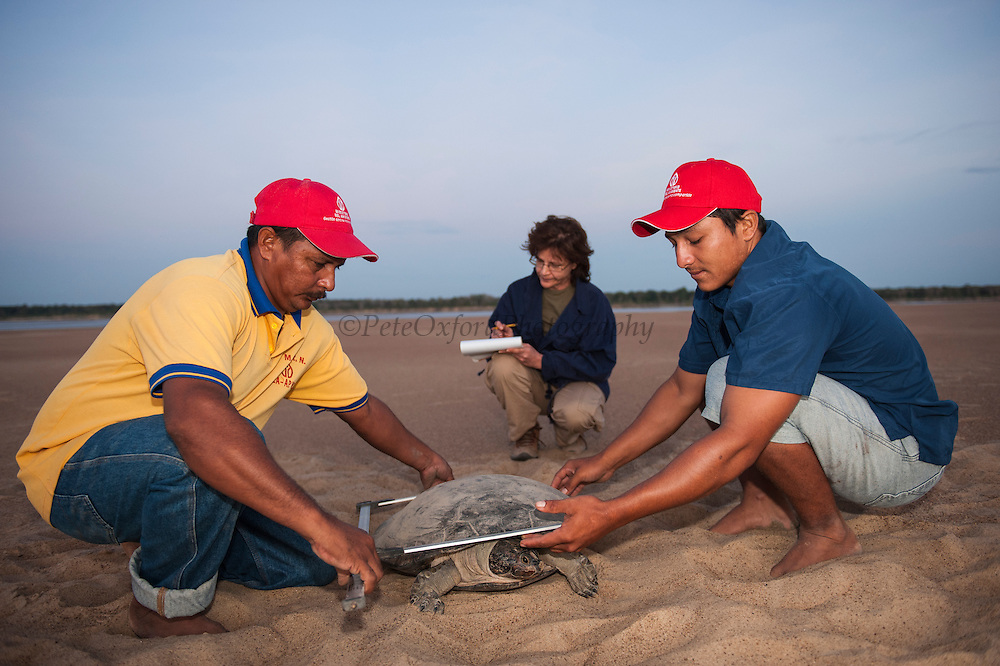 Giant River Turtle (Podocnemis expansa) Hector Tovar, Jose Belmejo & Eneida Marin (Project Coordinator) taking Biometric Data. CAPTIVE-REARING PROGRAM FOR REINTRODUCTION TO THE WILD<br /> CITES II      IUCN ENDANGERED (EN)<br /> Playita Beach, (mid) Orinoco River, 110 Km N of Puerto Ayacucho. Apure Province, VENEZUELA. South America. <br /> L average 90cm, Wgt 30-45kg. Largest fresh water river turtle in S. America. Eggs round & 42mm. 90-100 per clutch. 6-8 weeks incubation.<br /> (This female measured:69cm curved carapace length and weighed:31kg and layed 121 eggs)  Females come ashore to sun themselves for several days before laying to boost egg development.  They lay when the river is at its lowest. Herbacious and live in white or black water rivers moving into flooded forests of the Amazon during the wet season to feed on fallen seeds and fruit.<br /> RANGE: Amazonia, Llanos & Orinoco of Colombia, Venezuela, Brazil, Guianas, Ecuador, Peru & Bolivia.<br /> Project from Base Camp of the Protected area of the Giant River Turtle (& Podocnemis unifilis). (Refugio de Fauna Silvestre, Zona Protectora de Tortuga Arrau, RFSZPTA)<br /> Min. of Environment Camp which works in conjuction with the National Guard (Guardia Nacional) who help enforce wildlife laws and offer security to camp. From here the ministery co-ordinate with other local communities along the river to hand-rear turtles for the first year of their life and then release them. They pay a salary to a person in each community that participates in the project as well as providing all food etc. The turtles are protected by law and there is a ban on the use of fishing nets in the general area. During egg laying season staff sleep on the nesting beaches to monitor the nests.  All nests layed on low lying ground are relocated to an area not likely to flood. They are then surrounded by a net to catch all hatchlings who will then spend the first year of their life in captivity to increase their chances of survival.