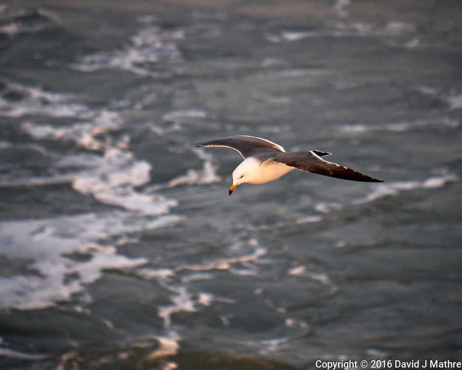 Black-tailed Gull viewed from the deck of the MV World Odyssey. Image taken with a Fuji X-T1 camera and 55-200 mm lens (ISO 200, 200 mm, f/5.6, 1/500 sec).