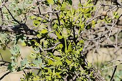 Oak mistletoe, Phoradendron coryae