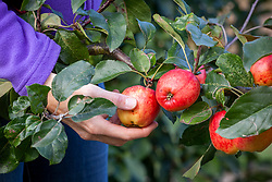 Picking apples by cupping from underneath then twisting. Malus domestica