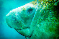 A close-up of a wild manatee photographed in Citrus County, Florida.