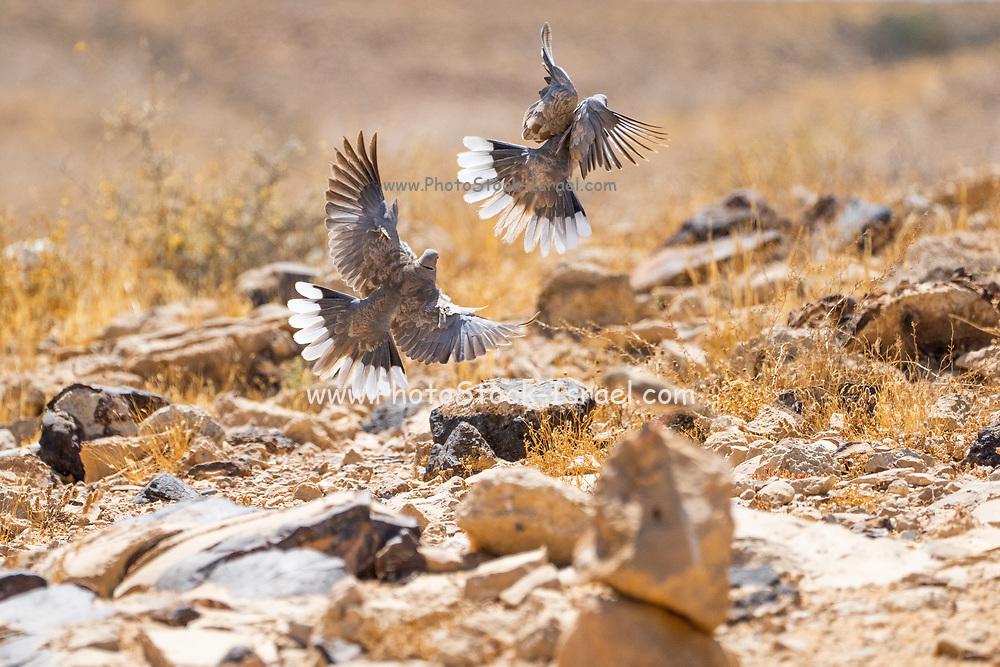 Ring-necked dove (Streptopelia capicola) in flight